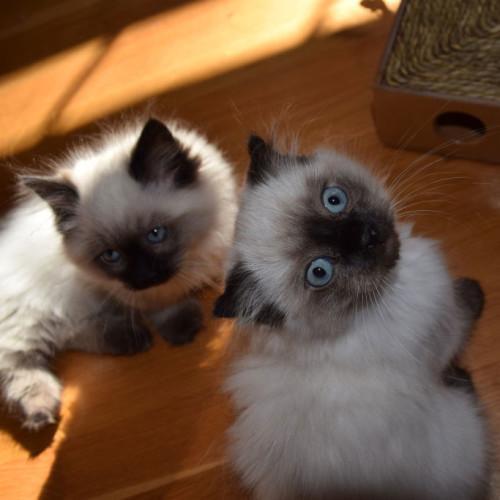 perthshire_kilt_kittens_72-500x500