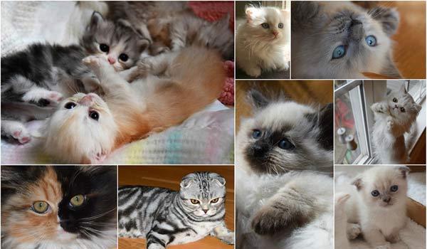 Scottish Kilt Kittens For Sale Oak Ridge NC | Perthshire Kilts Cattery